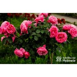 Różowa, korona wzniesiona