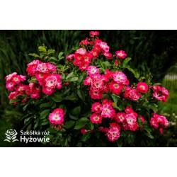 Różowa drobna, korona wzniesiona