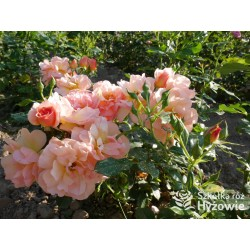Prins Henrik's Rose™
