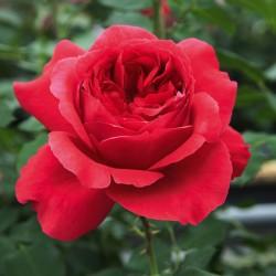 Rouban Rouge®