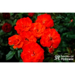 'Orange Passion'