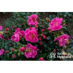 Bienenweide Rosa®