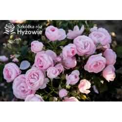 Hans Gönewein Rose®