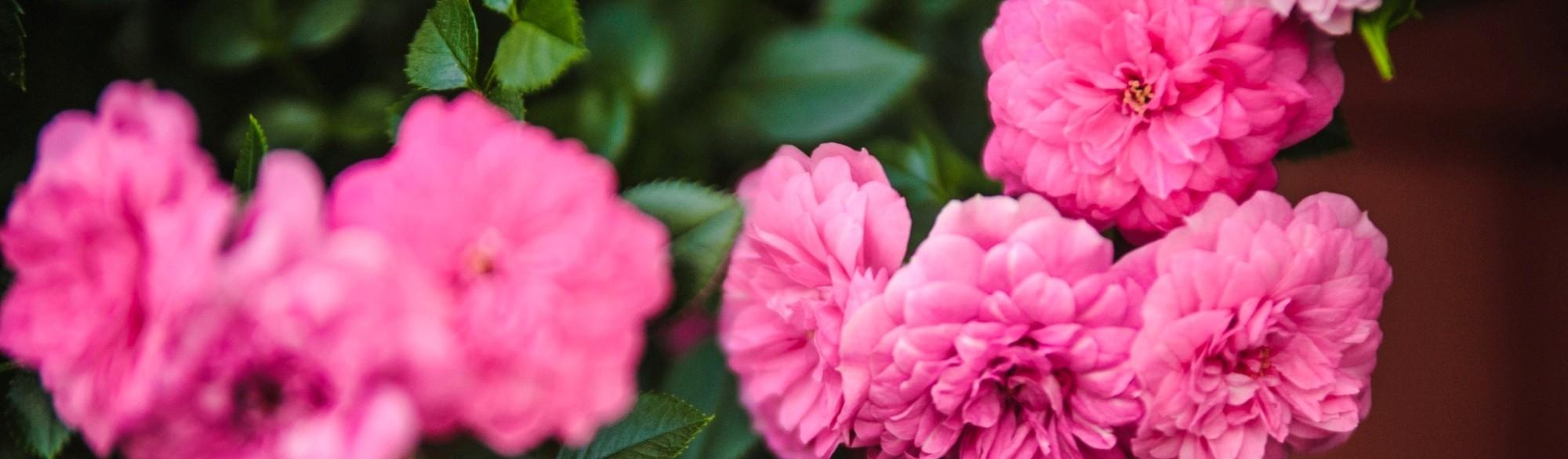 Róża Knirps